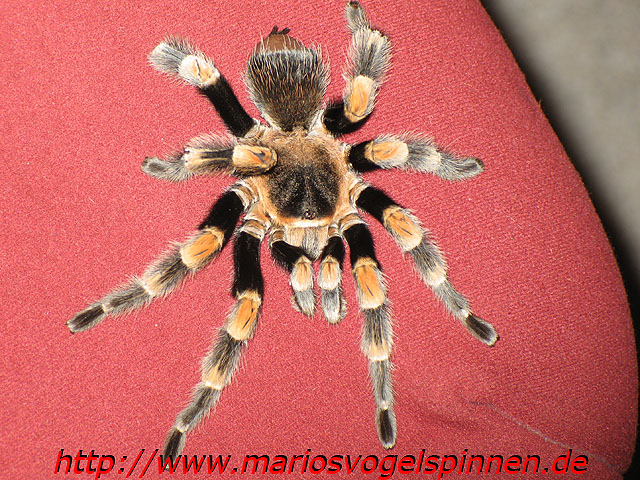 Theraphosa_Blondi_krank1